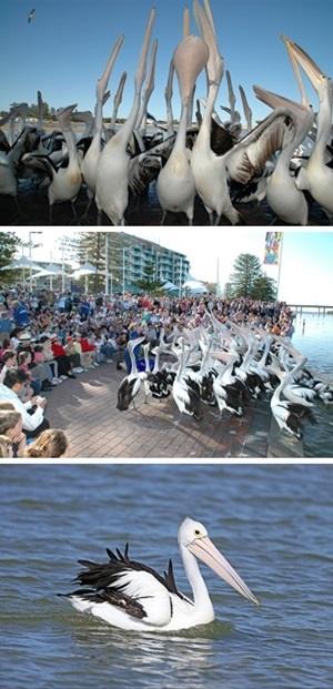 Central Coast Pelican Feeding
